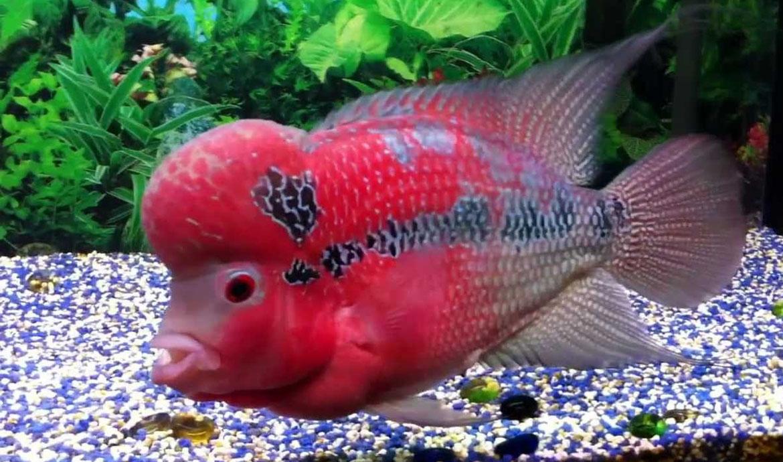 Các chủng vi sinh hữu ích hỗ trợ tăng trưởng cho cá La Hán